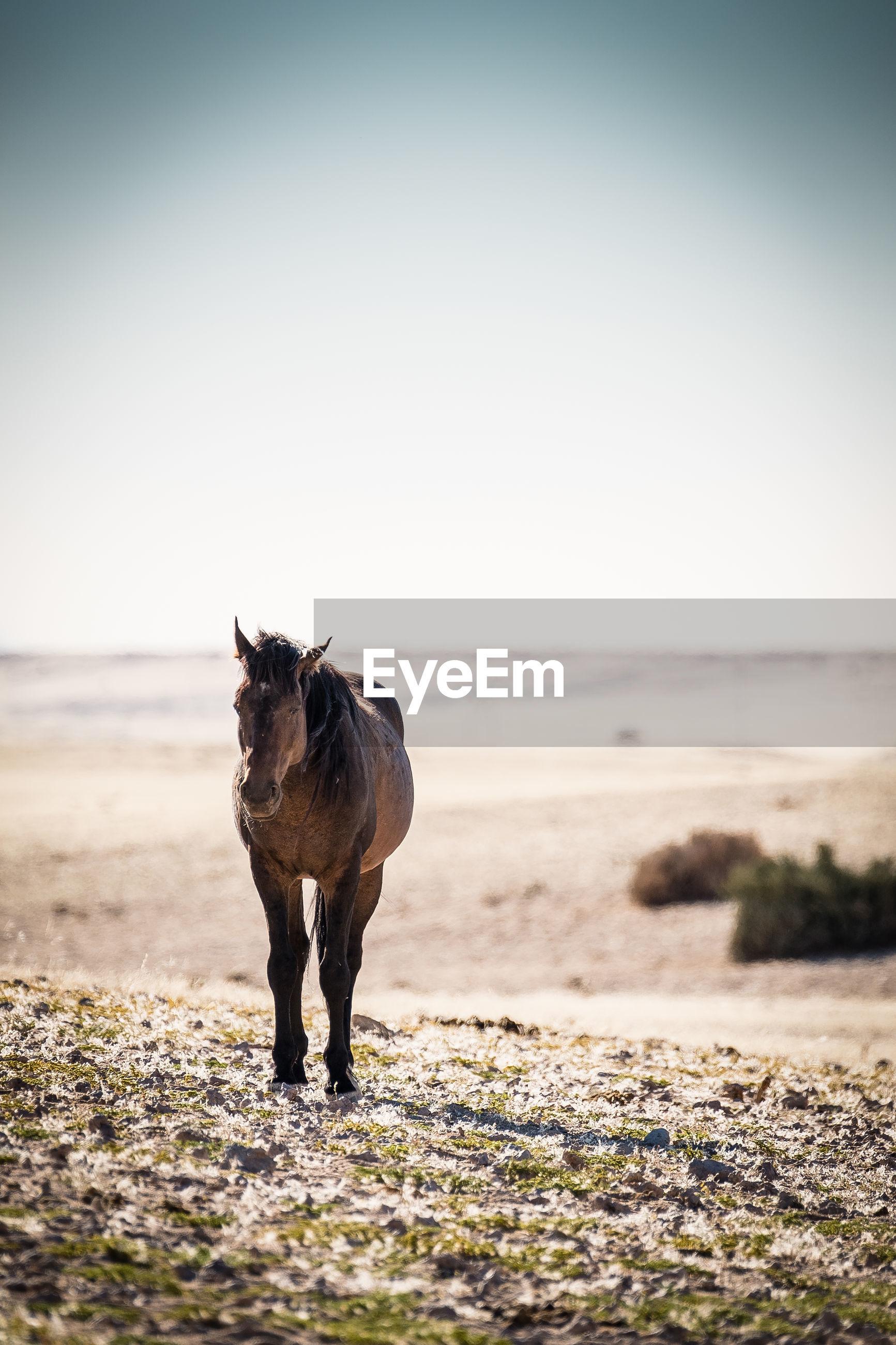 FULL LENGTH OF A HORSE ON BEACH