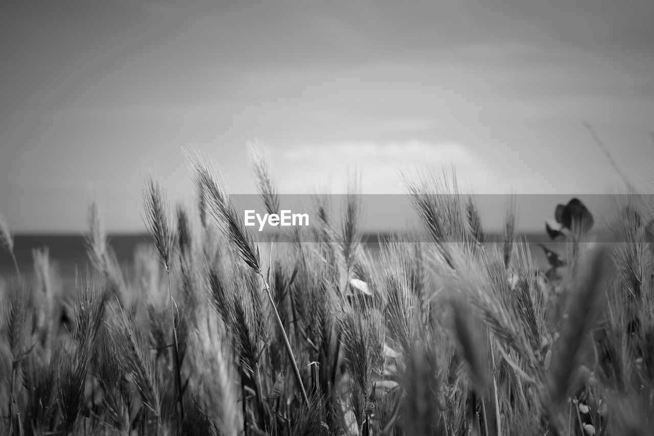 Wheat plants growing on field against sky