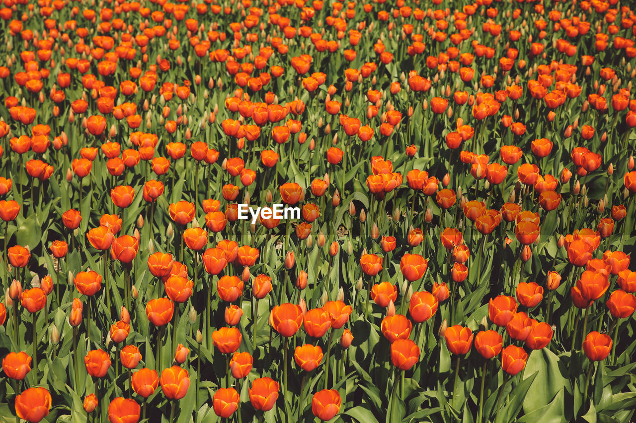 orange color, flower, growth, nature, backgrounds, beauty in nature, freshness, plant, full frame, outdoors, fragility, flowerbed, no people, day, petal, red, blooming, flower head, close-up
