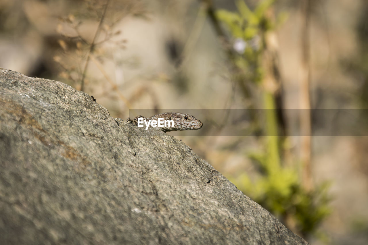 animal, one animal, animal themes, animals in the wild, animal wildlife, selective focus, day, rock, no people, rock - object, invertebrate, nature, solid, reptile, insect, close-up, lizard, focus on foreground, vertebrate, outdoors