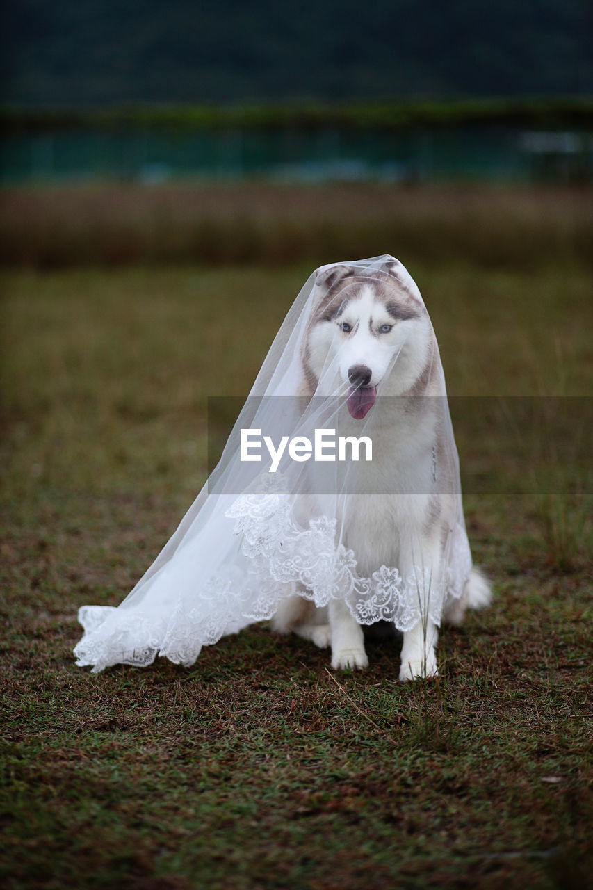 Close-Up Of Dog Covered In Veil On Grass