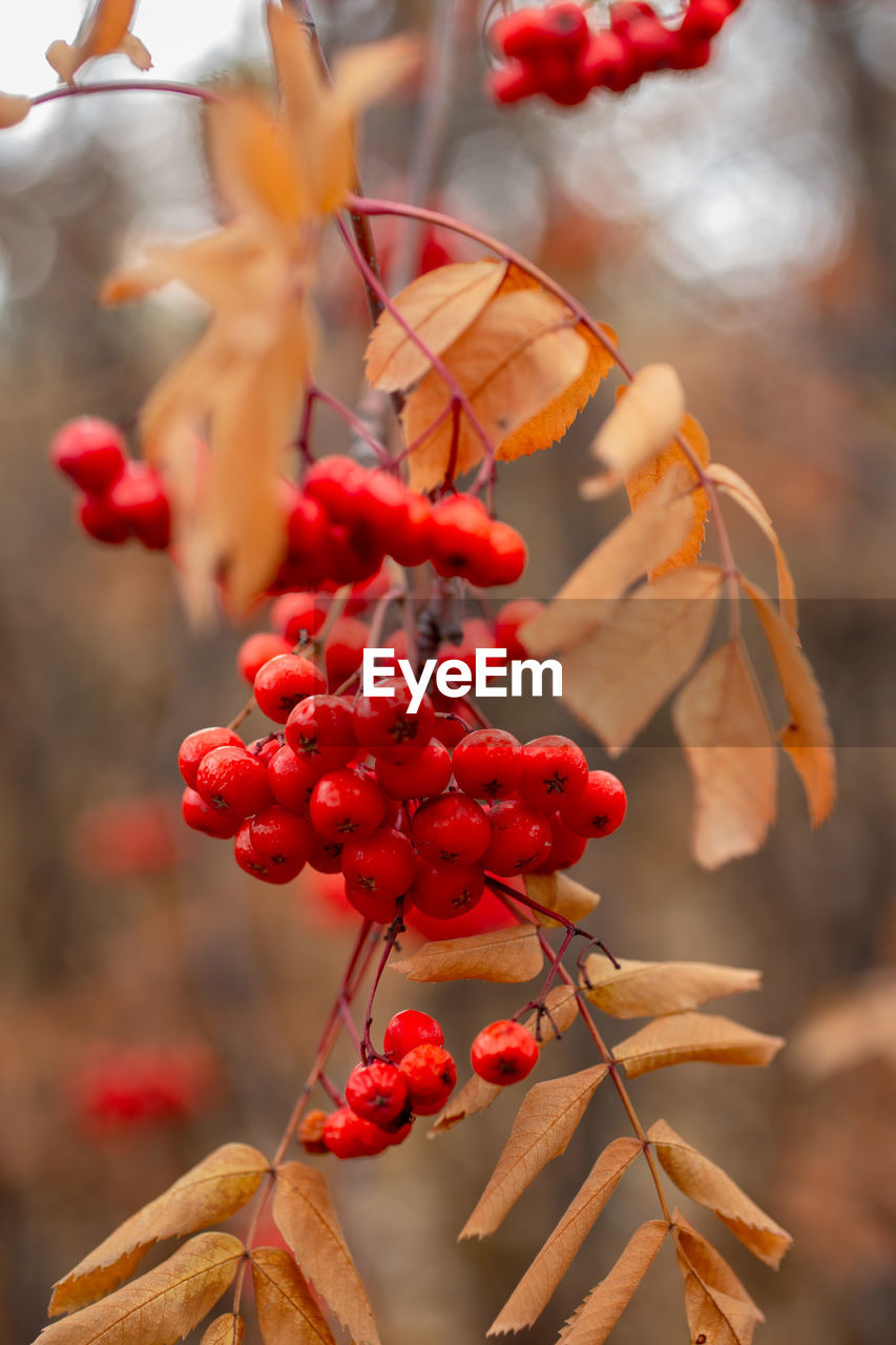 Close-up of red berries growing on plant during autumn