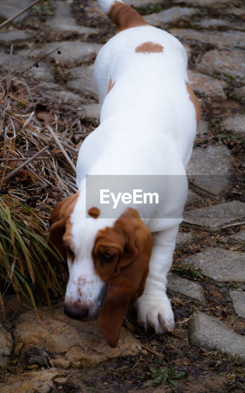 dog, pets, domestic animals, one animal, animal themes, mammal, outdoors, no people, day, close-up, portrait, beagle, nature