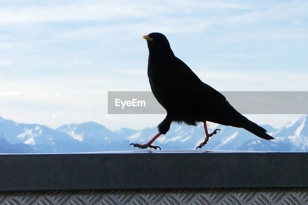 Close-up of a crow