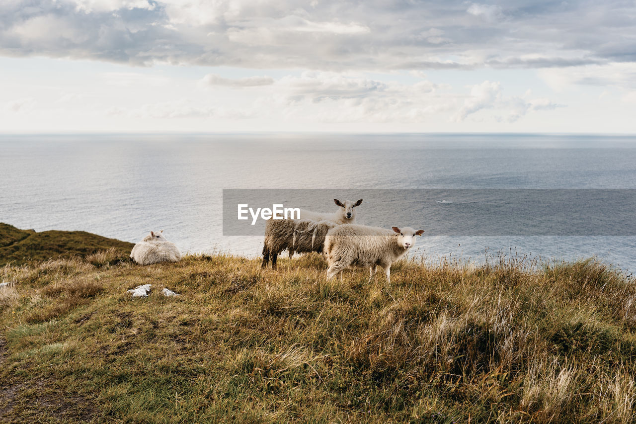 Scenic View Of Sheep Standing On Field Against Sea