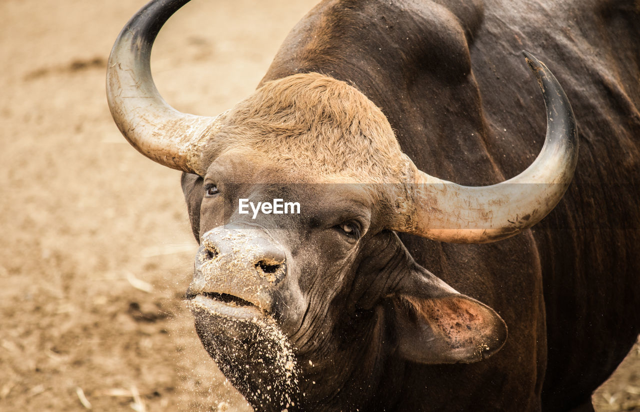 Close-Up Of American Bison