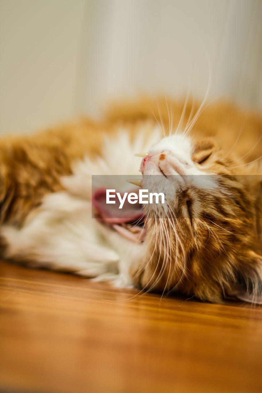 Close-up of cat yawning while lying on floor at home