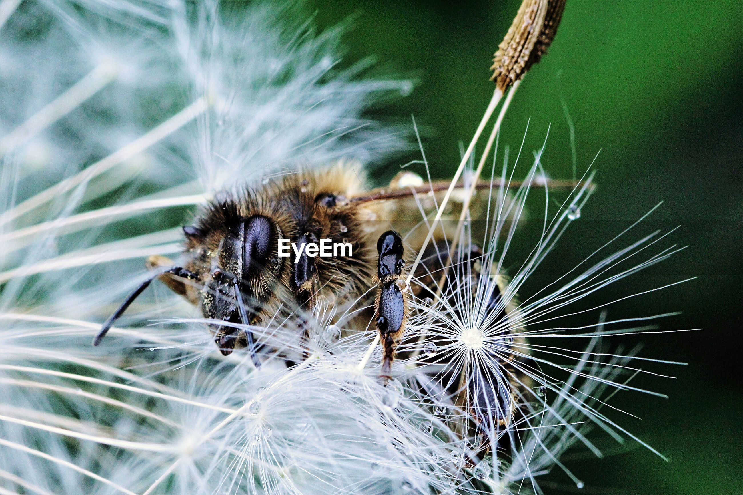 Close-up of bee on dandelion