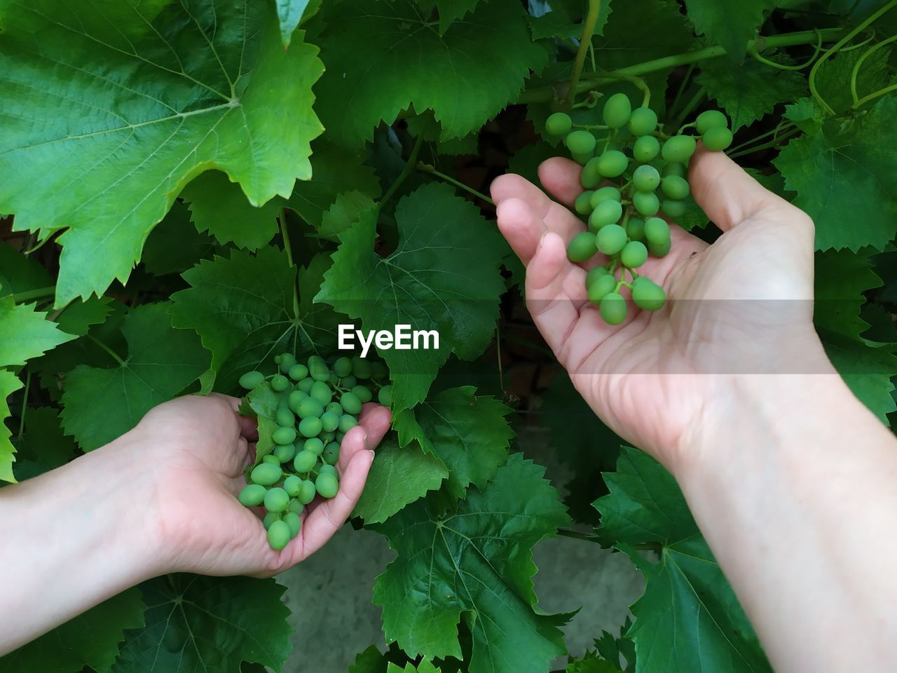 Cropped image of hands holding unripe grapes