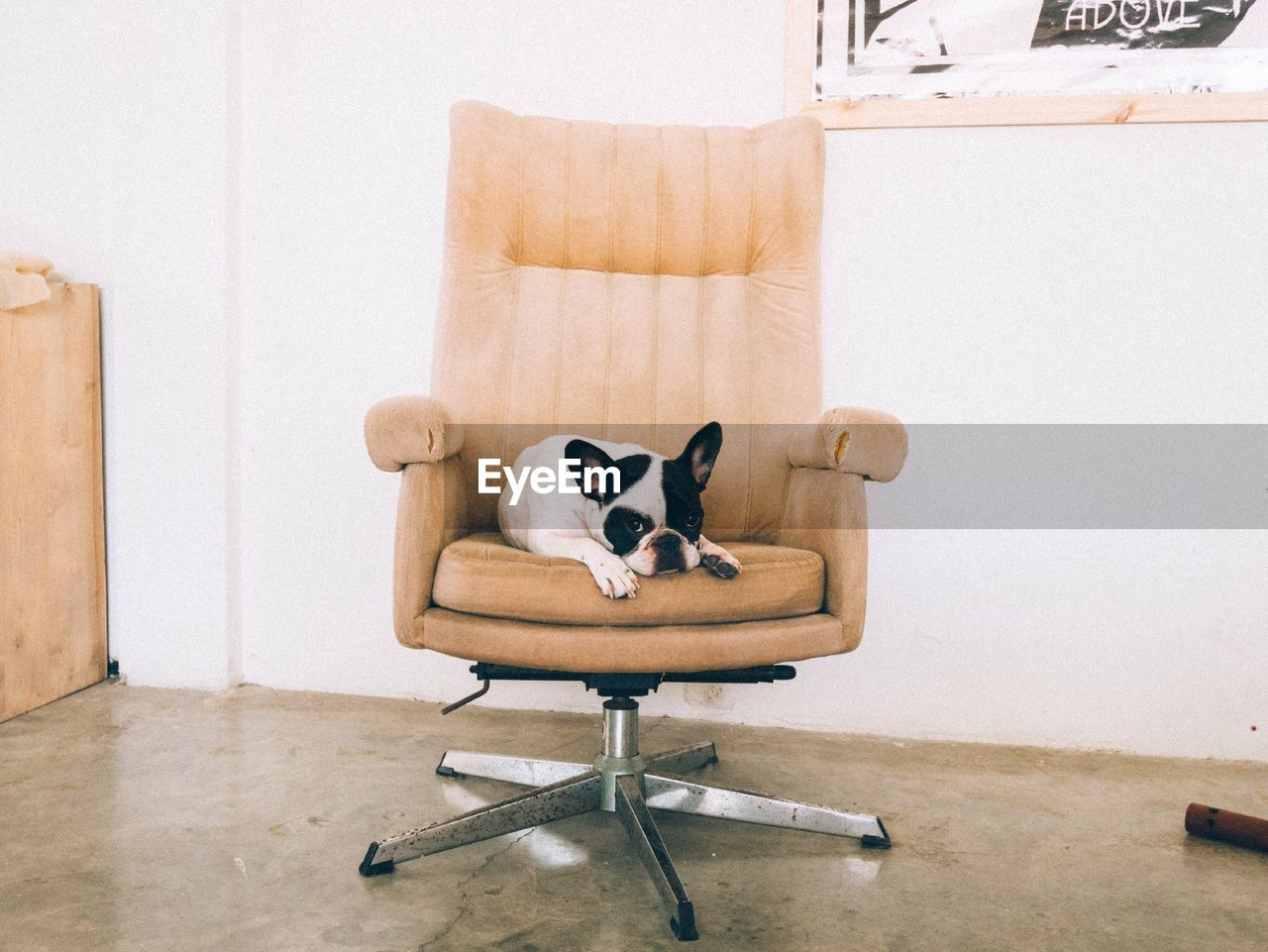 Portrait Of French Bulldog Relaxing On Office Chair Against White Wall