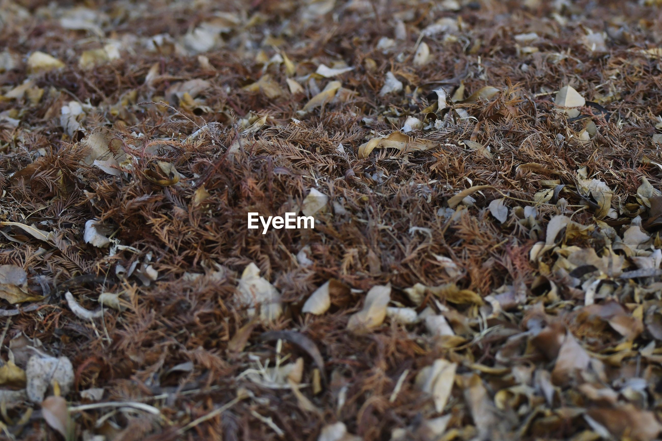 CLOSE-UP OF DRY LEAVES ON FIELD