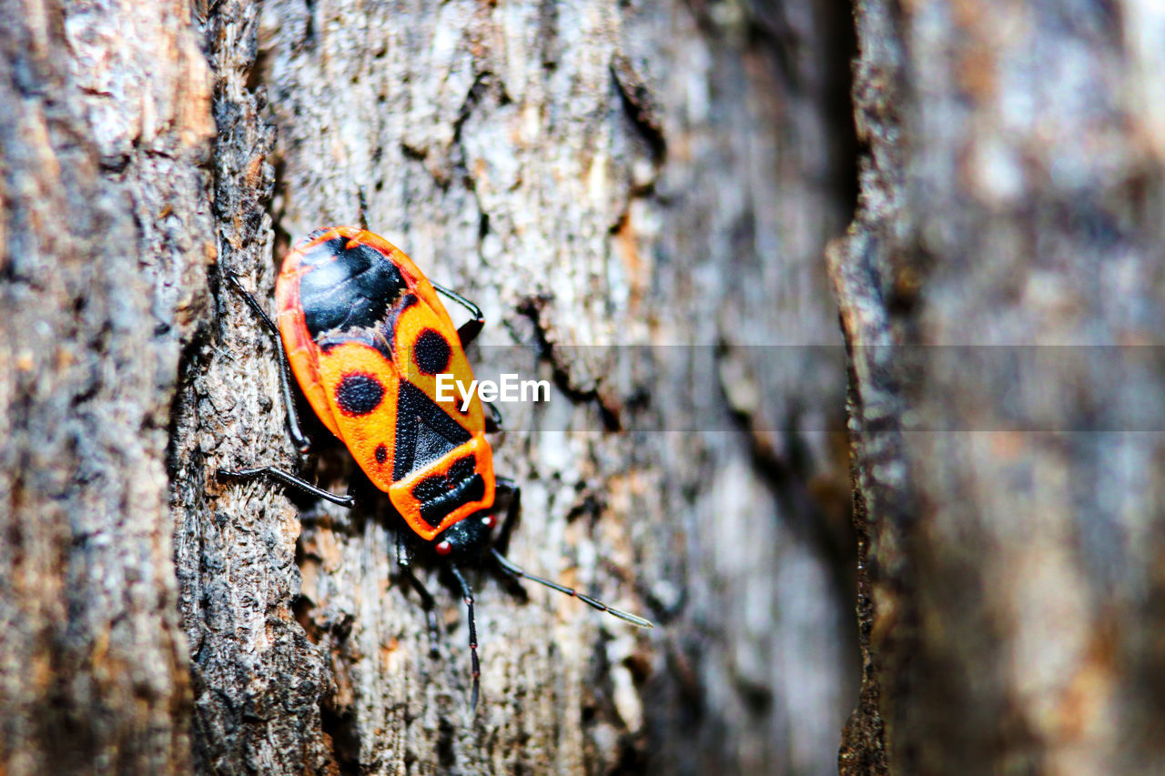 Feuerkäfer Animal Themes Animals In The Wild Close-up Day Fire Beetle Focus On Foreground Insect Invertebrate Nature No People One Animal Orange Color Outdoors Textured  Trunk Wood - Material