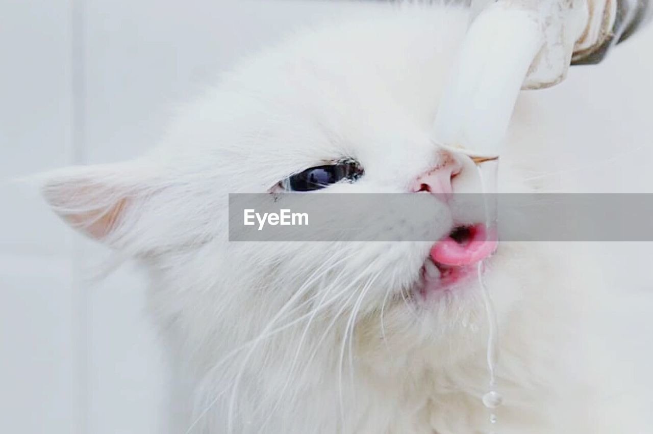 domestic, one animal, pets, domestic animals, animal, animal themes, mammal, white color, vertebrate, close-up, indoors, no people, looking, animal body part, focus on foreground, looking away, animal head, animal hair, portrait, facial expression, whisker, animal tongue