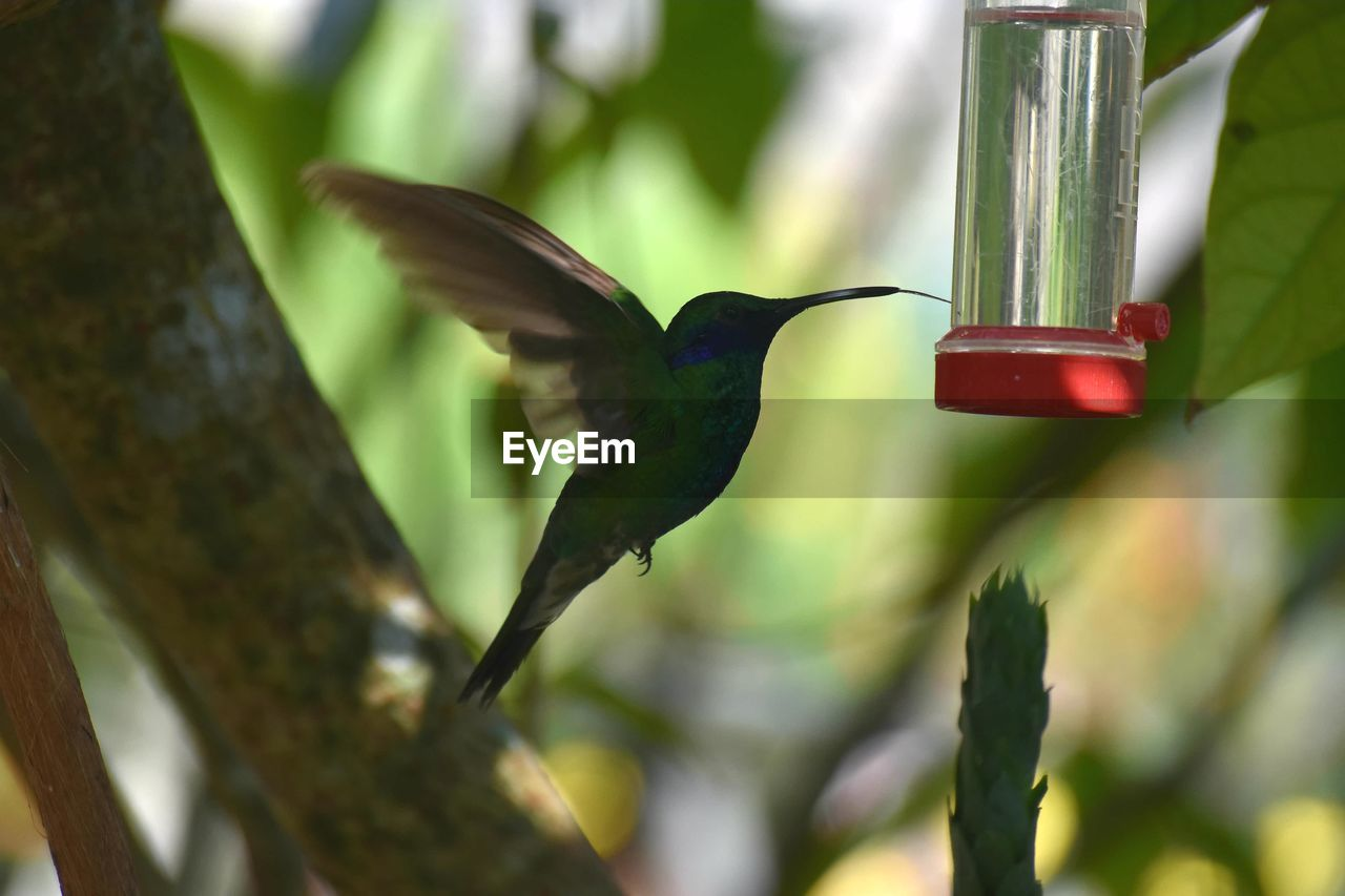 hummingbird, red, one animal, bird, animal themes, animals in the wild, bird feeder, no people, green color, animal wildlife, tree, focus on foreground, close-up, day, nature, branch, outdoors, perching, freshness
