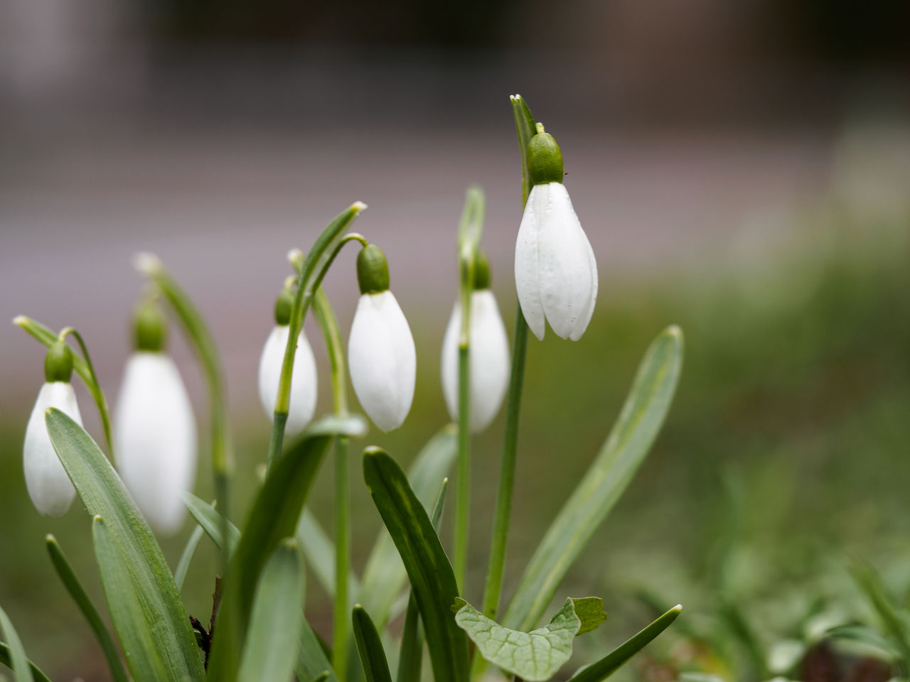growth, plant, flower, beauty in nature, flowering plant, freshness, vulnerability, snowdrop, fragility, close-up, petal, white color, green color, focus on foreground, nature, no people, day, inflorescence, selective focus, flower head, outdoors