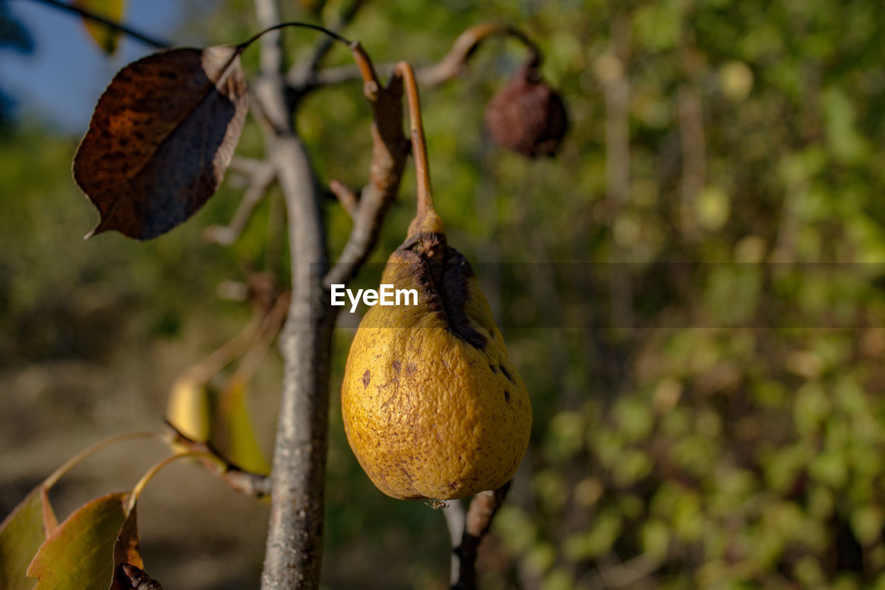 food, healthy eating, fruit, food and drink, plant, growth, tree, plant part, leaf, focus on foreground, freshness, no people, close-up, nature, day, wellbeing, outdoors, branch, beauty in nature, green color, ripe
