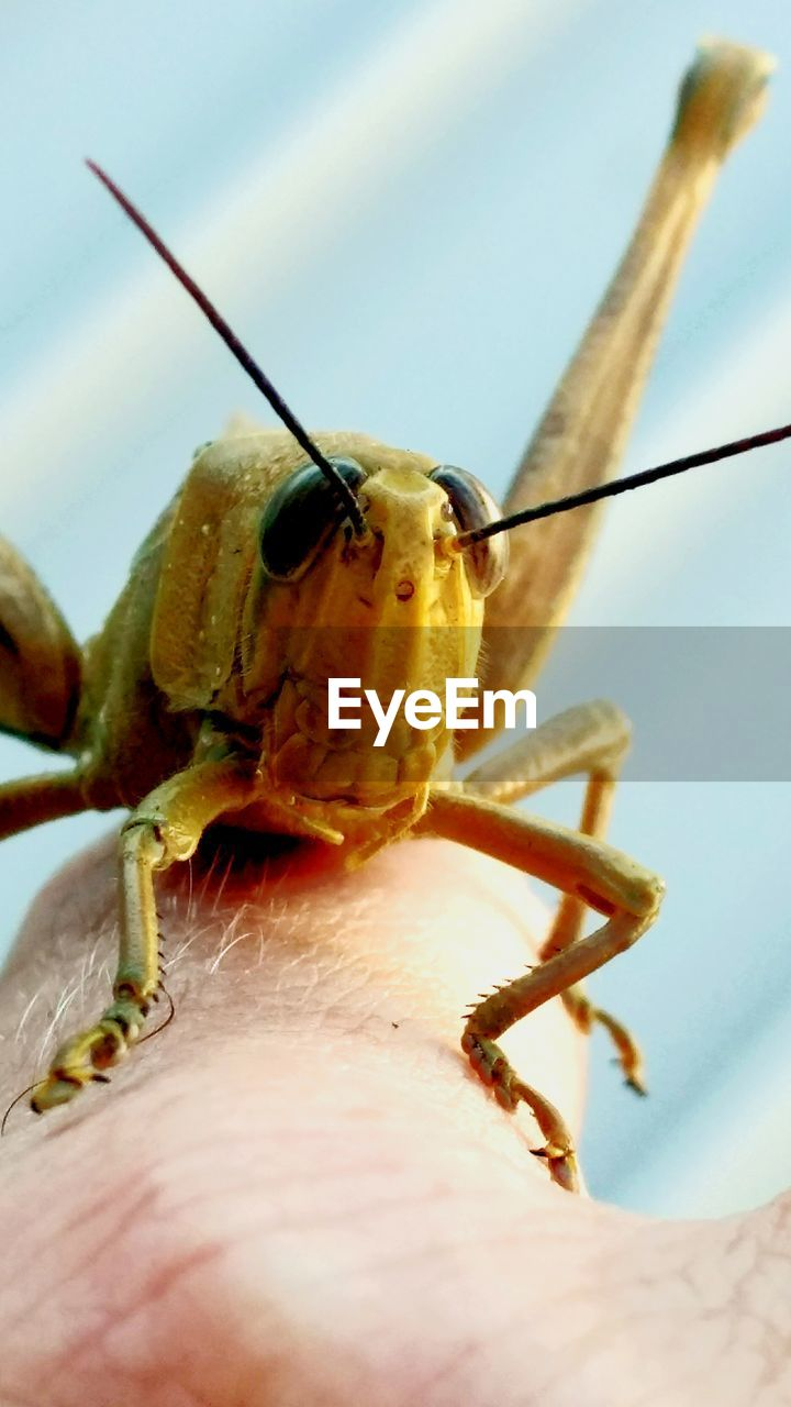 one animal, animal themes, human body part, human finger, animals in the wild, human hand, close-up, insect, outdoors, day, one person, animal wildlife, real people, grasshopper, nature, sky