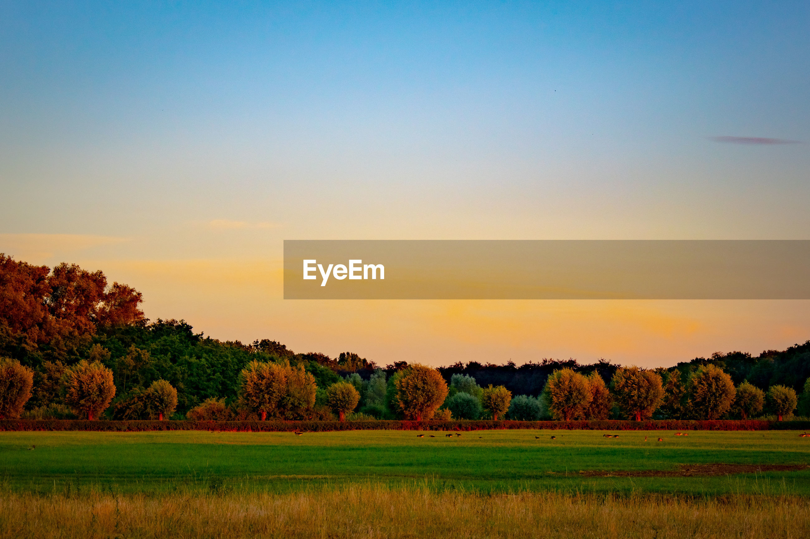 SCENIC VIEW OF TREES ON FIELD AGAINST SKY DURING SUNSET
