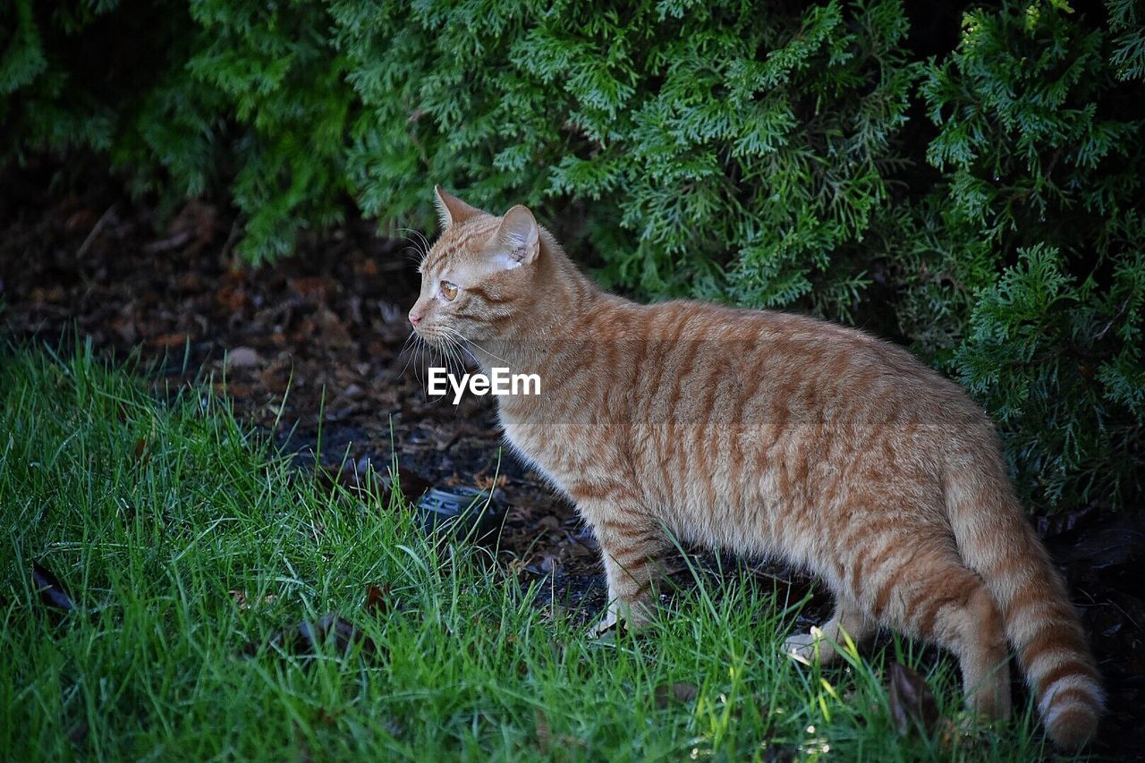 cat, feline, mammal, pets, animal, animal themes, domestic cat, domestic, domestic animals, one animal, vertebrate, plant, grass, land, no people, nature, green color, field, day, ginger cat, whisker, tabby