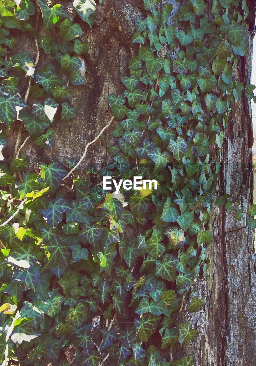 growth, plant, ivy, nature, no people, leaf, day, outdoors, green color, tree, close-up, tree trunk, fragility, beauty in nature