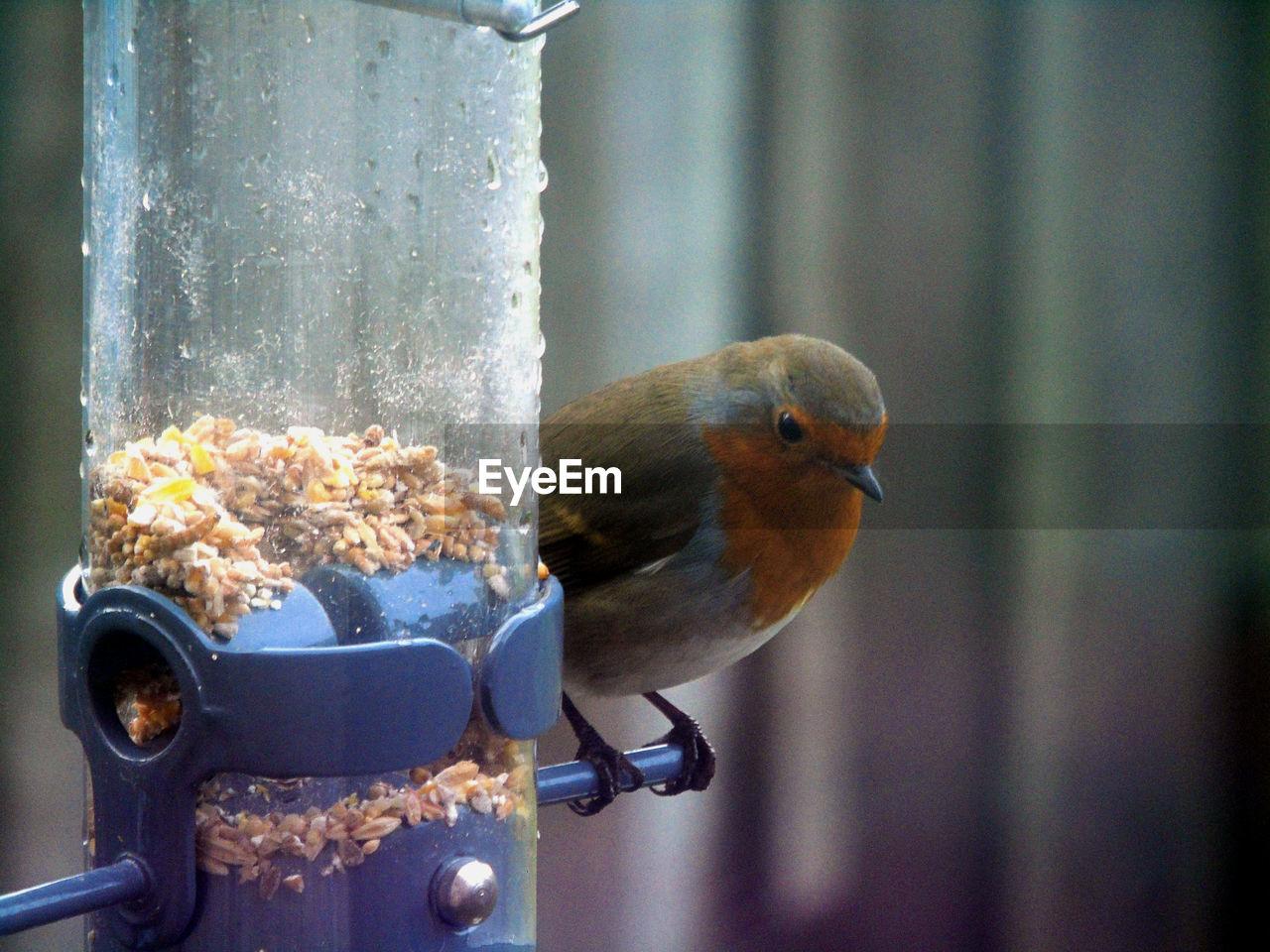 Robin Perching On Wet Bird Feeder