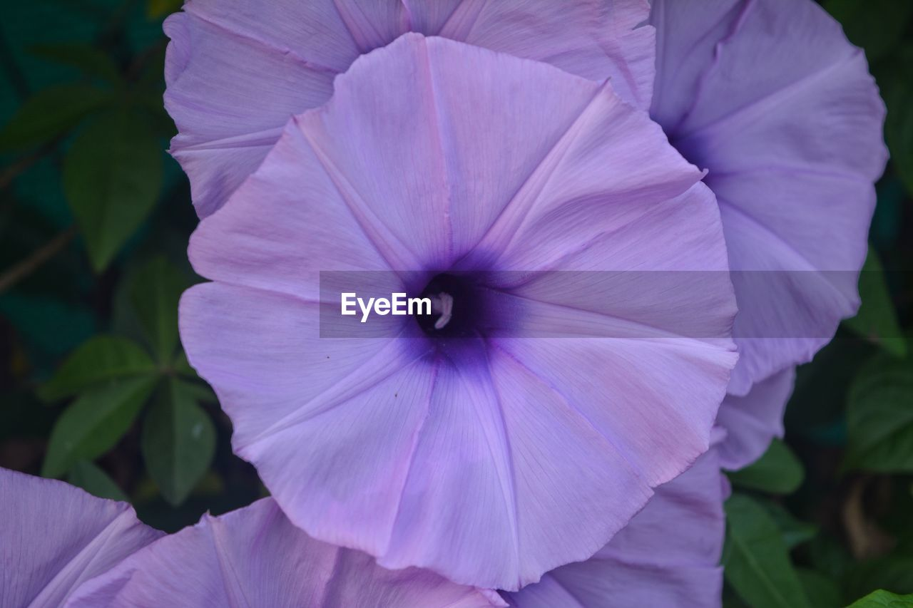 petal, flower, fragility, flower head, purple, beauty in nature, day, growth, nature, outdoors, plant, freshness, close-up, blooming, petunia, no people