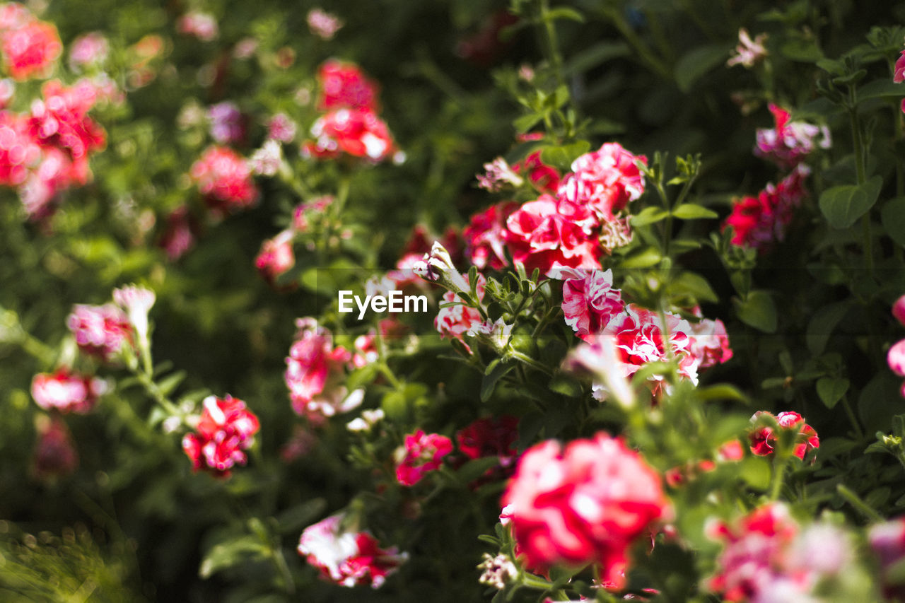 RED FLOWERS BLOOMING IN PLANT