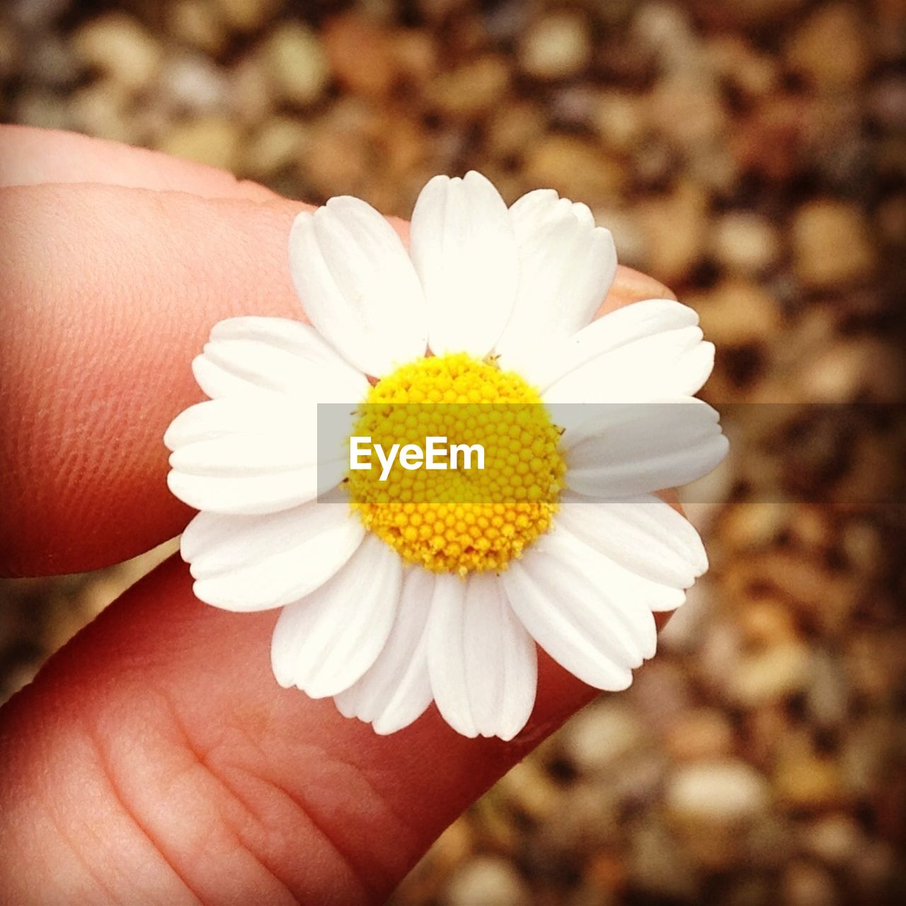 Cropped image of hand holding daisy