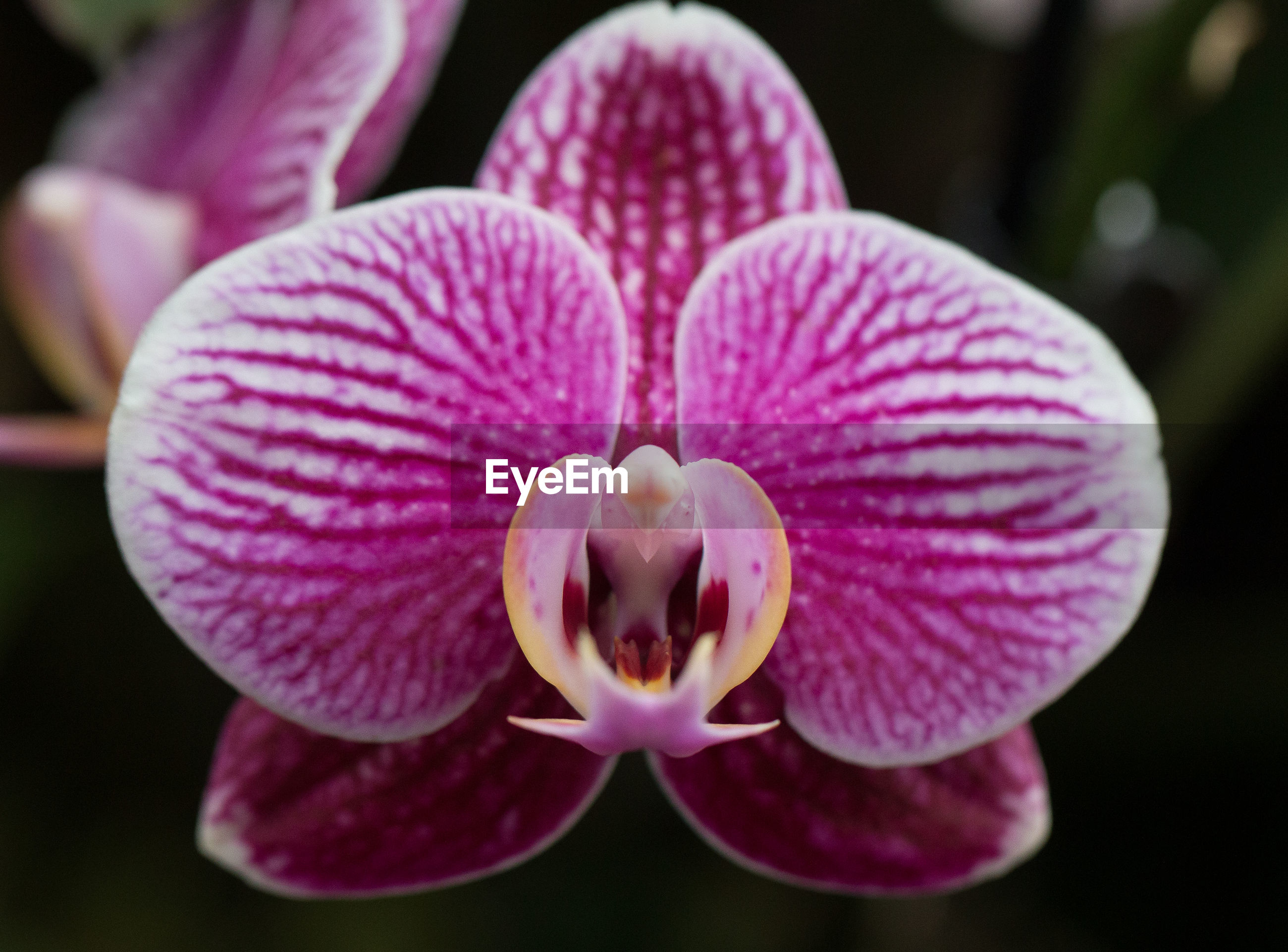 CLOSE-UP OF PINK ORCHID FLOWER