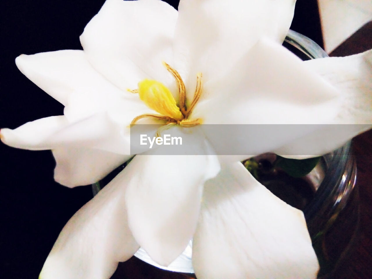 flower, petal, flower head, beauty in nature, fragility, white color, nature, close-up, freshness, growth, one person, outdoors, frangipani, black background, day
