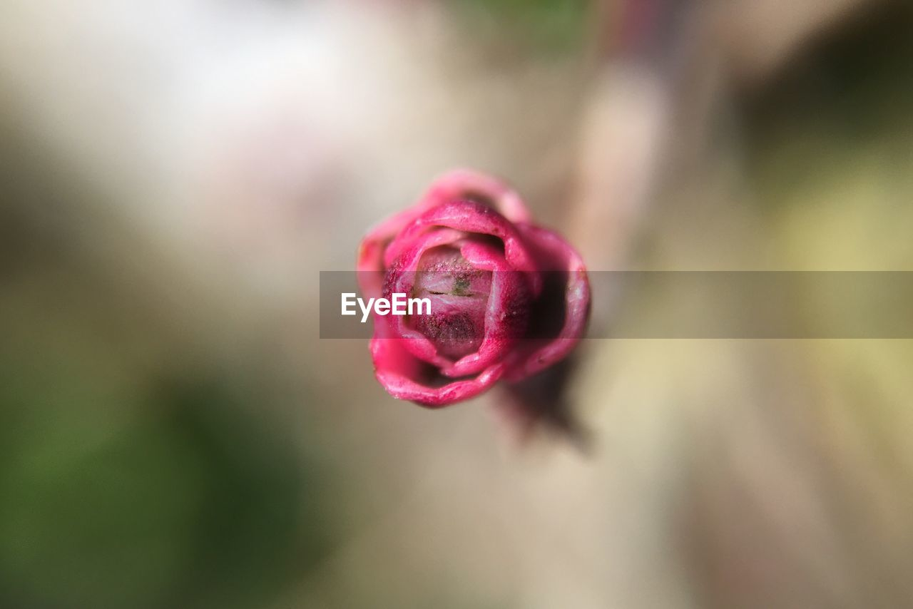nature, flower, beauty in nature, growth, fragility, petal, plant, freshness, rose - flower, no people, close-up, flower head, pink color, new life, outdoors, water, day