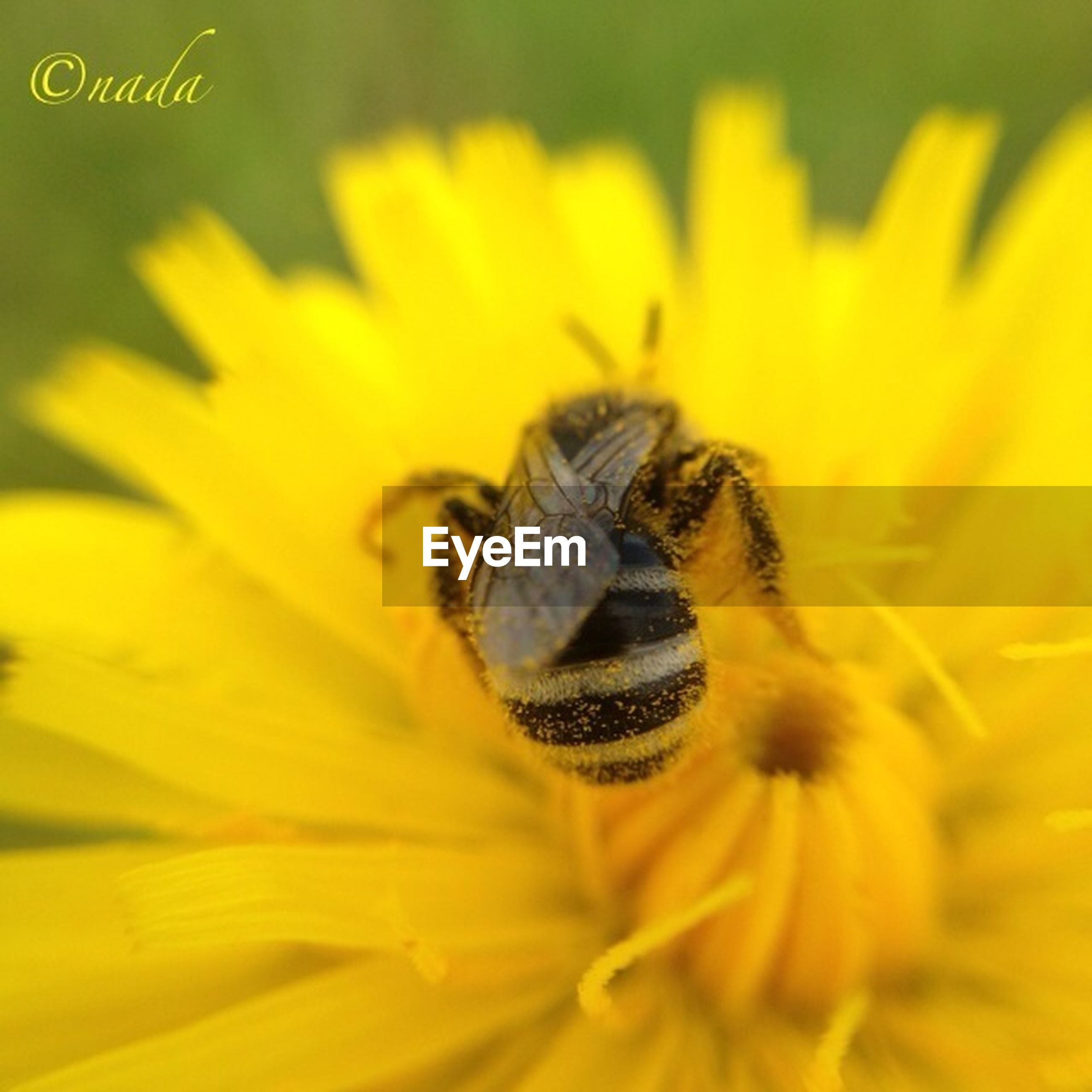 flower, yellow, petal, one animal, freshness, insect, animal themes, flower head, animals in the wild, fragility, close-up, wildlife, beauty in nature, growth, nature, pollen, bee, focus on foreground, single flower, pollination