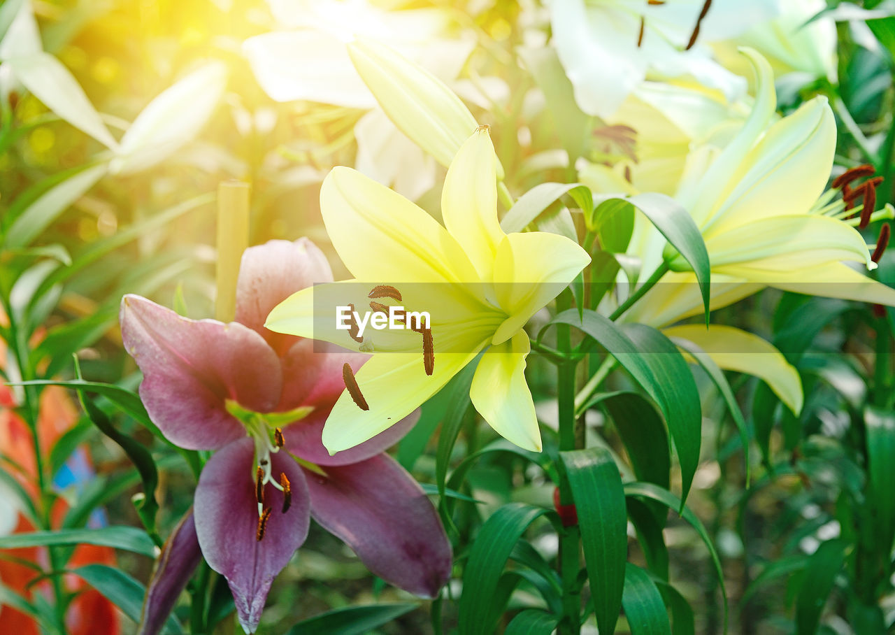 flower, petal, nature, fragility, growth, beauty in nature, flower head, plant, freshness, blooming, outdoors, no people, day, close-up, animal themes, day lily