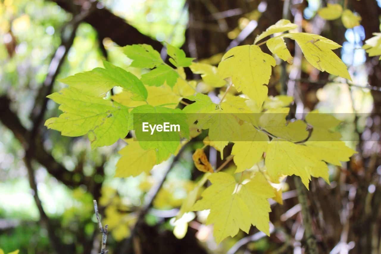 leaf, growth, nature, day, autumn, outdoors, tree, green color, focus on foreground, beauty in nature, close-up, branch, no people, tranquility, plant, fragility, maple