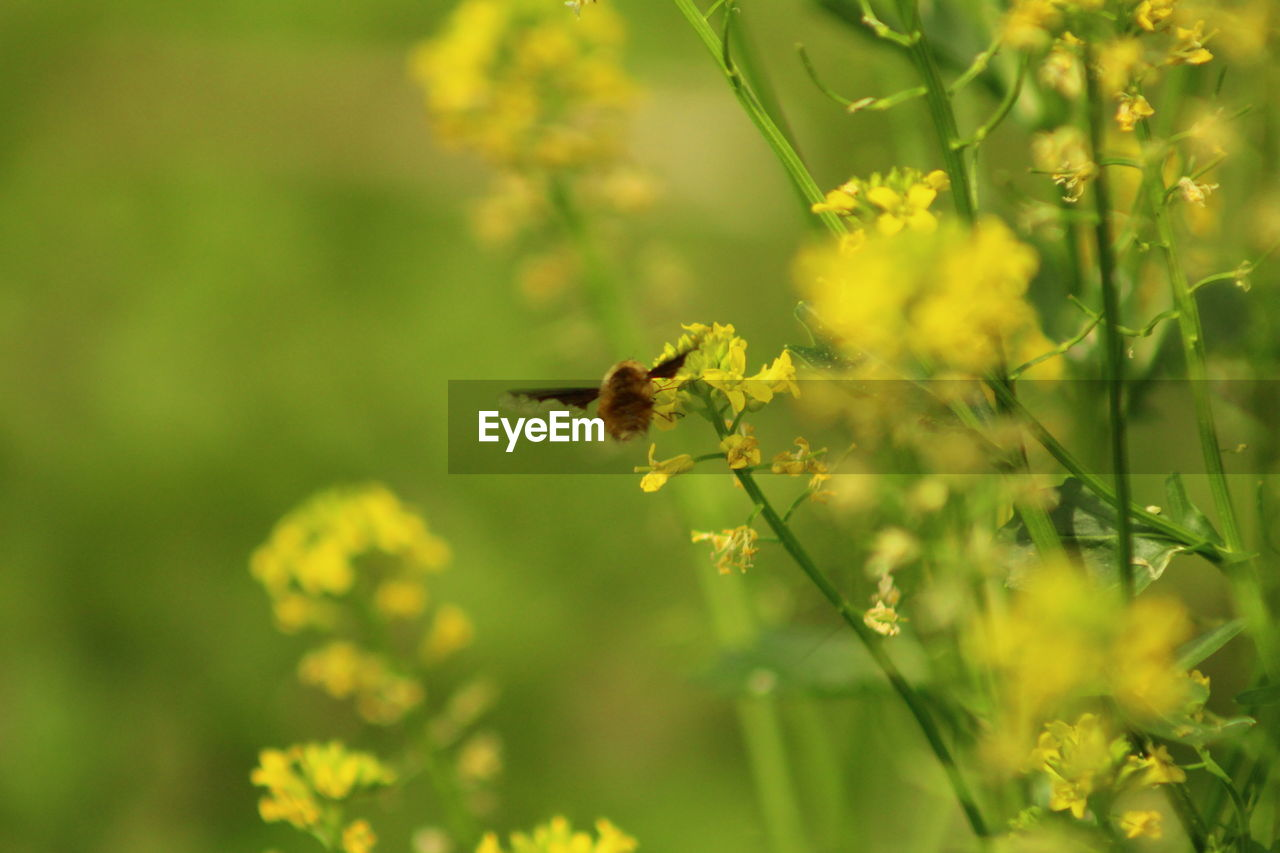 animal, animal themes, animals in the wild, animal wildlife, flower, one animal, flowering plant, beauty in nature, growth, invertebrate, insect, plant, bee, selective focus, nature, freshness, green color, vulnerability, fragility, yellow, no people, pollination, flower head