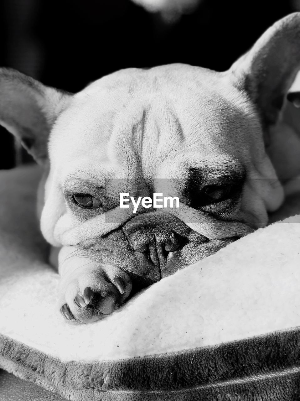 dog, canine, one animal, animal themes, animal, pets, domestic animals, domestic, mammal, vertebrate, relaxation, close-up, no people, animal body part, indoors, pug, animal head, resting, lying down, portrait, small