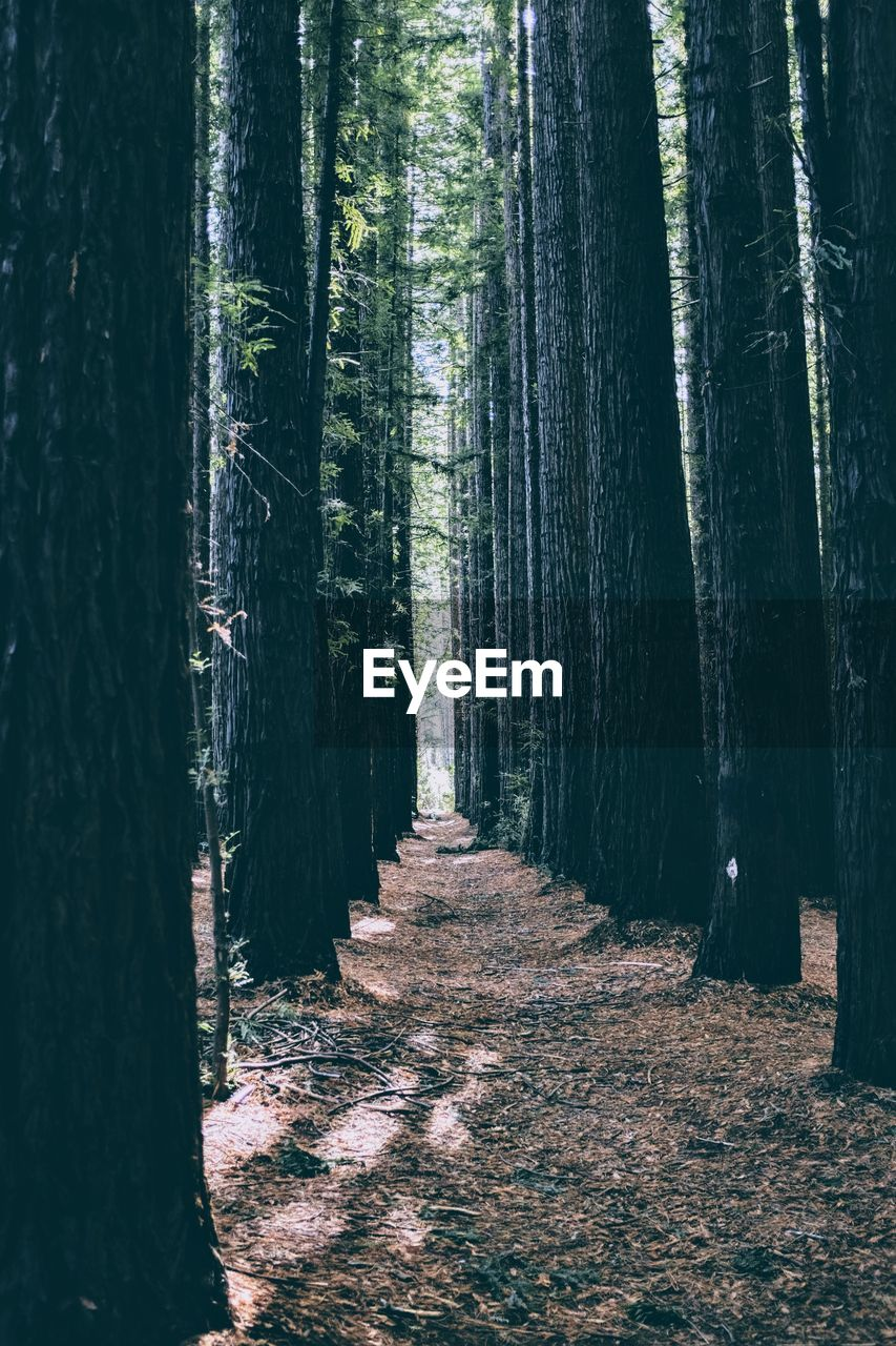 tree, forest, plant, land, tree trunk, trunk, woodland, tranquility, growth, tranquil scene, nature, beauty in nature, no people, non-urban scene, day, direction, scenics - nature, the way forward, landscape, outdoors, treelined, trail