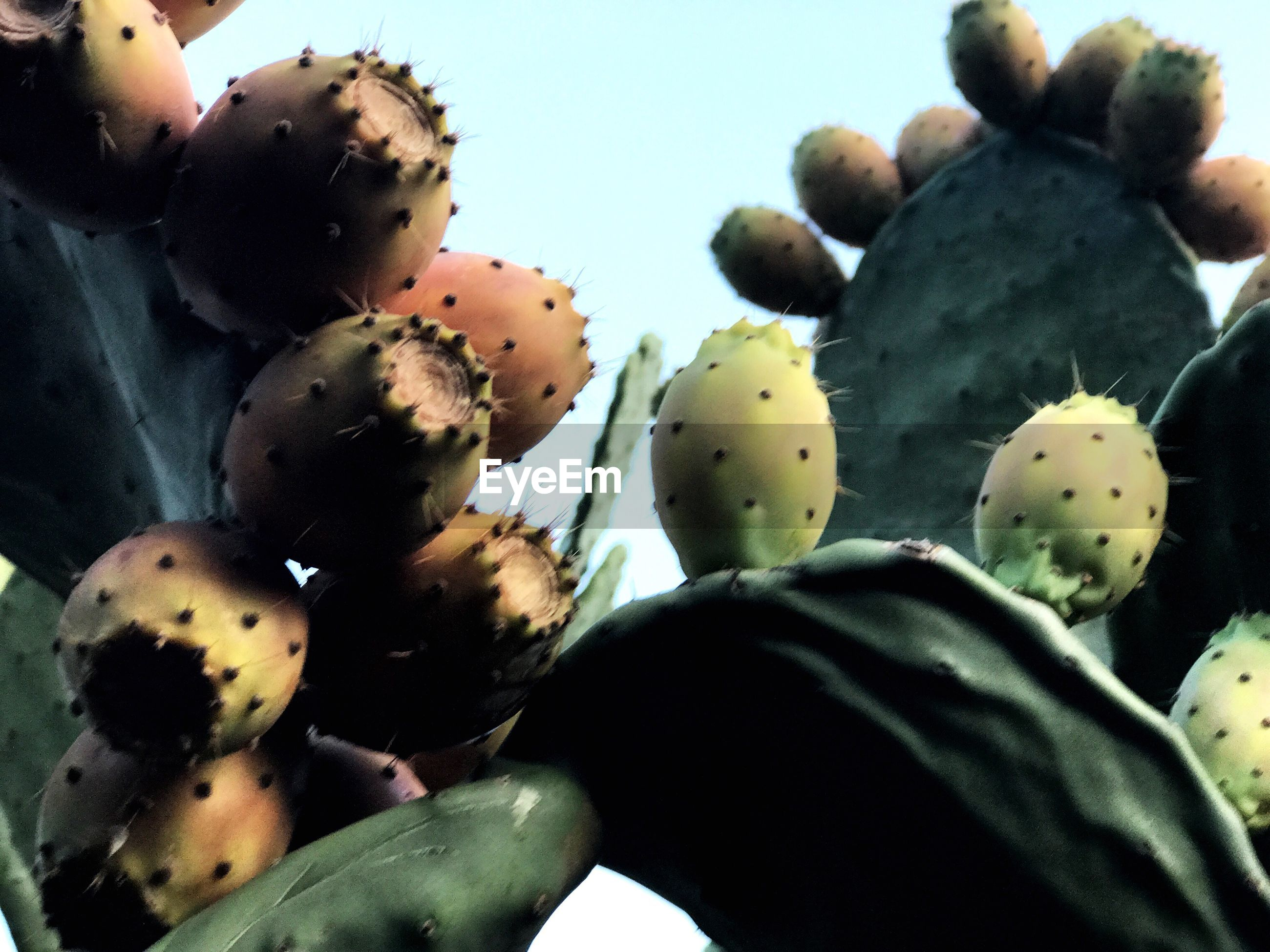 cactus, prickly pear cactus, close-up, growth, thorn, no people, nature, day, outdoors, plant, sky, beauty in nature, freshness