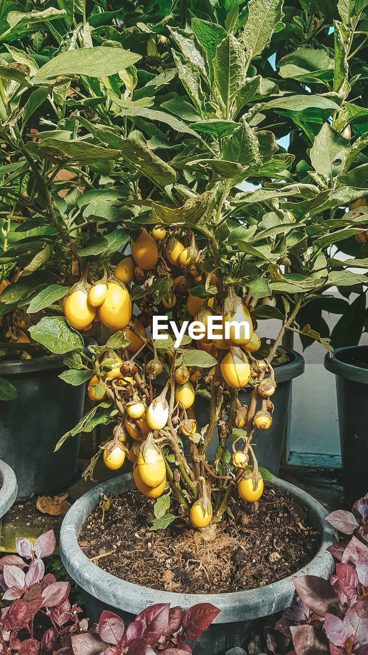 food, healthy eating, fruit, food and drink, plant, freshness, leaf, growth, nature, wellbeing, plant part, day, citrus fruit, no people, outdoors, yellow, lemon, green color, tree, fruit tree, orange, ripe