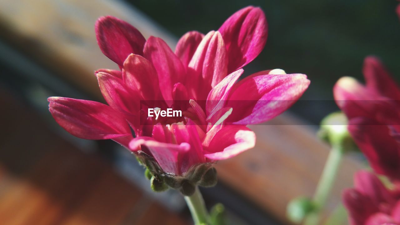 CLOSE-UP OF PINK FLOWER BLOOMING