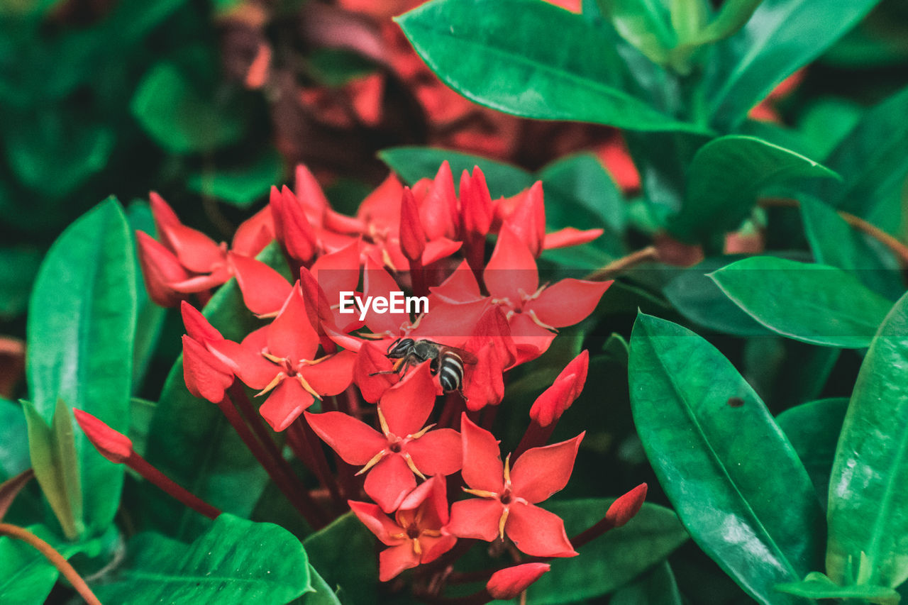 animals in the wild, flower, petal, animal themes, nature, beauty in nature, growth, one animal, insect, plant, fragility, leaf, ixora, flower head, animal wildlife, day, no people, green color, freshness, outdoors, close-up, red, blooming