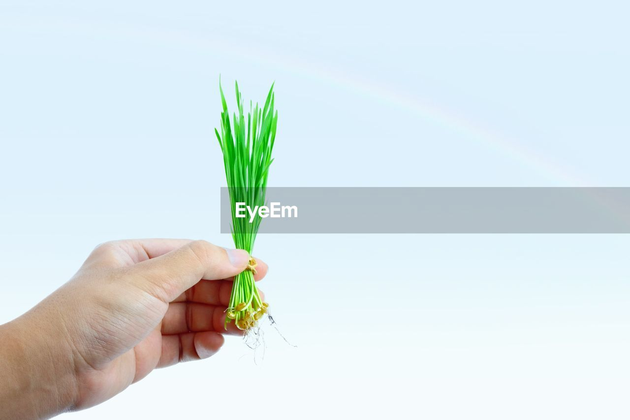 Hand of man holding wheatgrass freshly harvested with copy space on backdrop of blue sky.