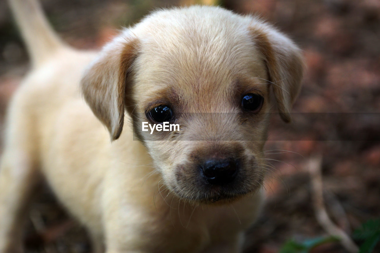 mammal, one animal, domestic, canine, domestic animals, dog, pets, looking at camera, portrait, vertebrate, puppy, young animal, close-up, focus on foreground, cute, people, animal body part, brown, small, snout, animal eye, whisker, animal mouth