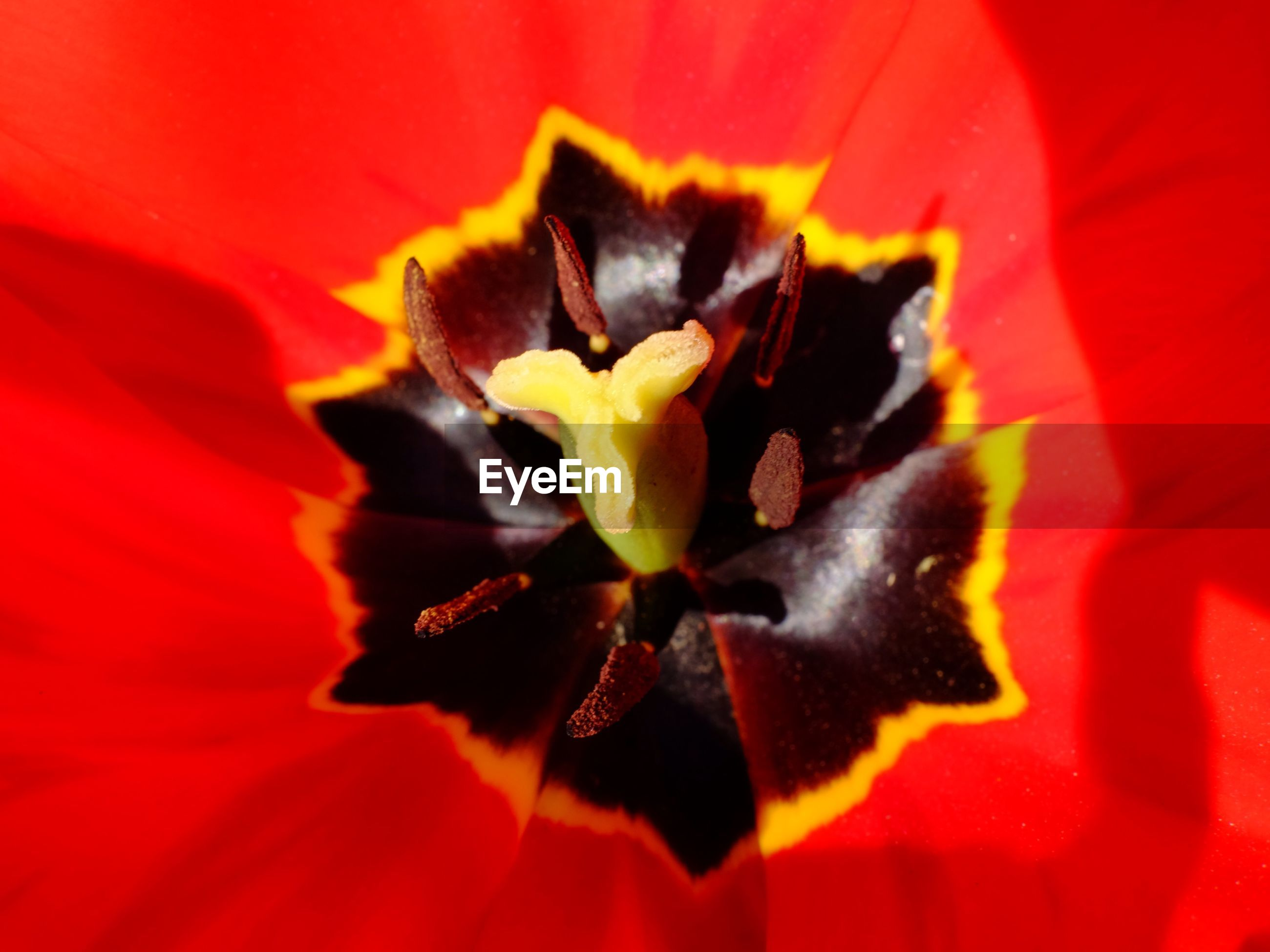 Full frame of red tulip head
