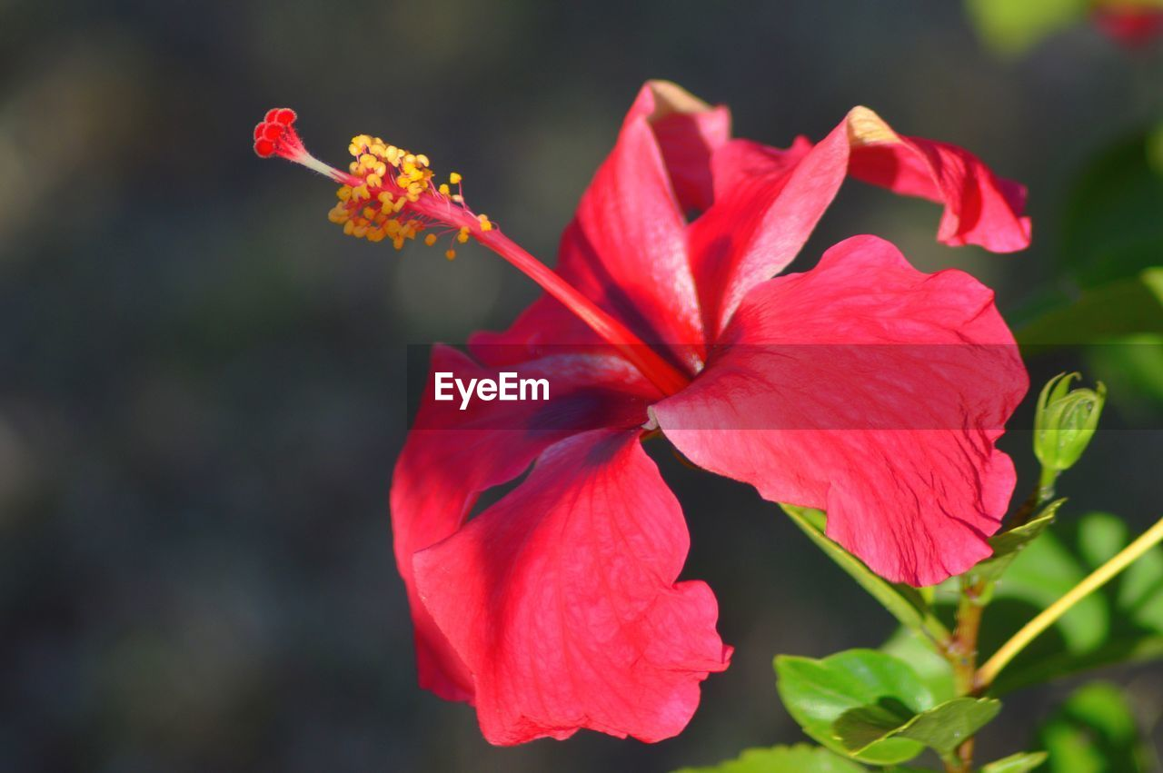 flowering plant, flower, petal, vulnerability, fragility, freshness, beauty in nature, flower head, plant, inflorescence, growth, close-up, hibiscus, red, focus on foreground, nature, no people, pollen, day, outdoors