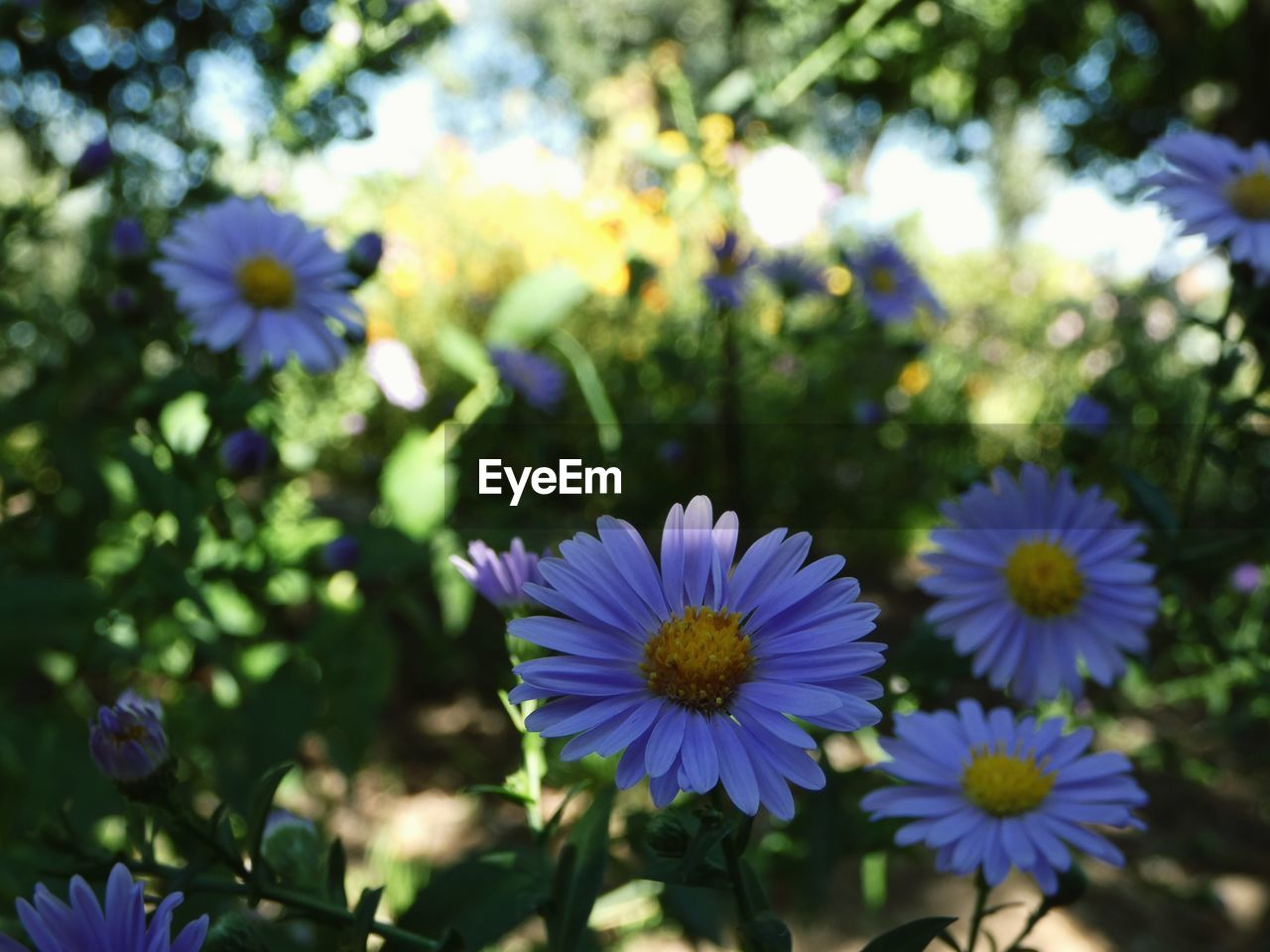 flowering plant, flower, plant, vulnerability, freshness, fragility, growth, beauty in nature, petal, close-up, flower head, inflorescence, focus on foreground, nature, no people, day, purple, sunlight, outdoors, osteospermum, pollen