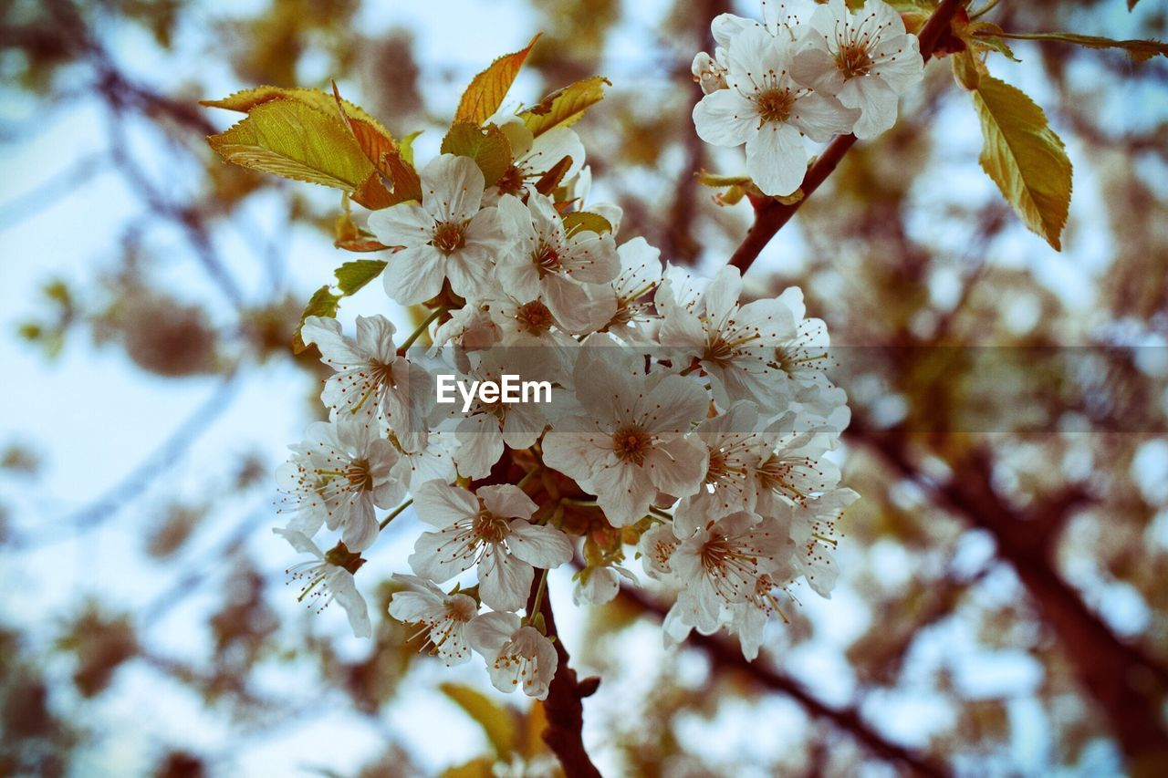 flower, fragility, beauty in nature, blossom, nature, branch, tree, growth, springtime, apple blossom, white color, botany, twig, freshness, day, petal, close-up, no people, outdoors, focus on foreground, low angle view, flower head, spring, blooming, sky