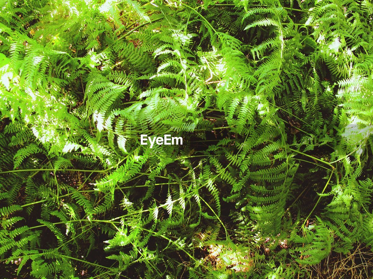 green, nature, growth, fern, plant, leaf, day, forest, beauty in nature, no people, sunshine, outdoors