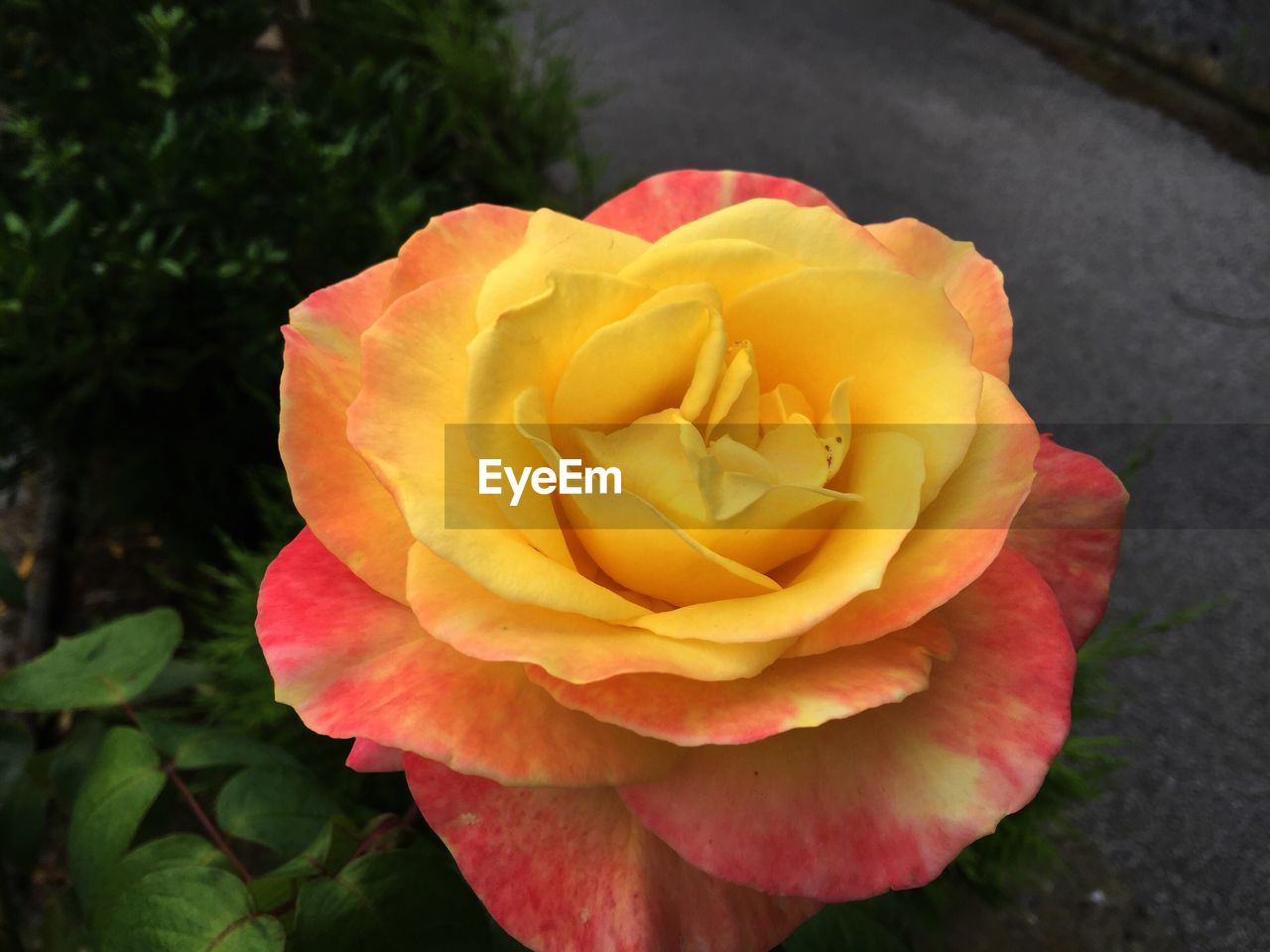 flower, petal, flower head, nature, fragility, beauty in nature, rose - flower, freshness, no people, plant, close-up, growth, yellow, outdoors, blooming, red, day