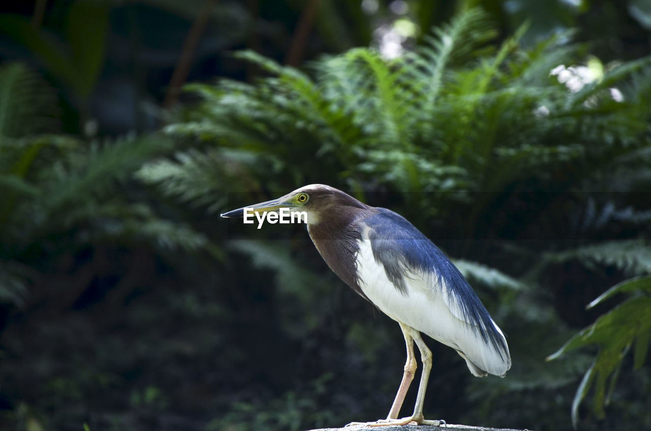 one animal, bird, animal themes, animal, vertebrate, animals in the wild, animal wildlife, focus on foreground, plant, heron, perching, no people, side view, nature, water bird, green color, day, tree, land, gray heron
